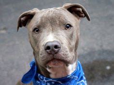 nycacc urgent dogs 1000 images about dogs nyc urgent nycacc needing adoption on pit