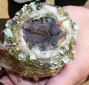 file hummingbird nest jpg wikipedia