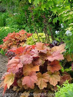 Southern Comfort Heuchera by Heuchera Combinations On Heuchera Shade