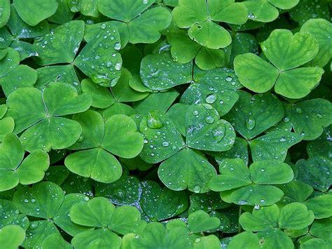 Wallpaper Daun Semanggi | 15 manfaat dan khasiat daun semanggi untuk kesehatan khasiat