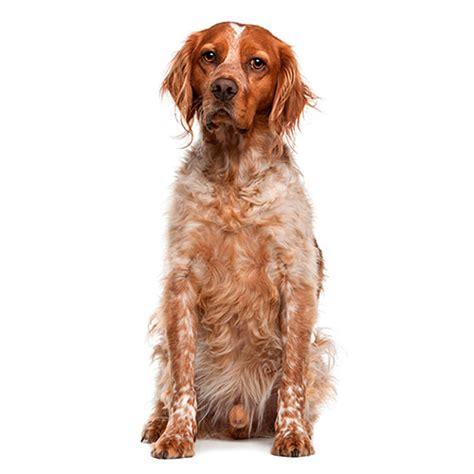 100 pics breeds 100 pics breeds 10 level answer staffordshire