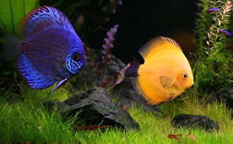 Aquascape Malaysia Paletka Dyskowiec Ryba Paletki Dyskowce Hodowla Paletek