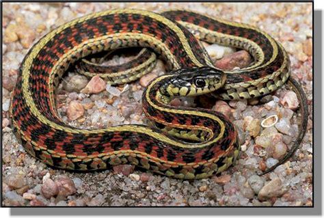Garden Snake Or Garter Snake Missouri National Recreational River Water Trail