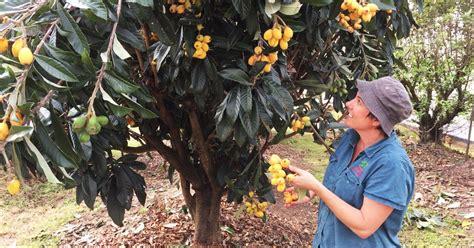 Daleys Fruit Tree Blog Grafted Loquat Nagasakiwase How
