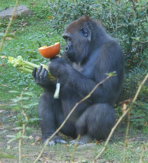 Cross River Gorilla: The World's Rarest Gorilla