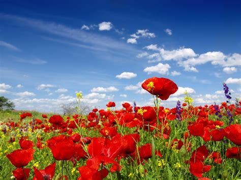 Wall Paper Wall Sticker Photo Wall Poppy 8 257 wall mural poppy and flowers photo wallpaper