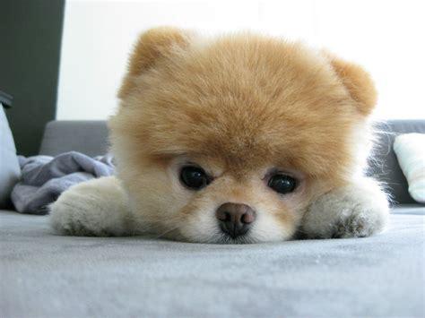 imagenes perros japoneses boo no es un perro japon 233 s