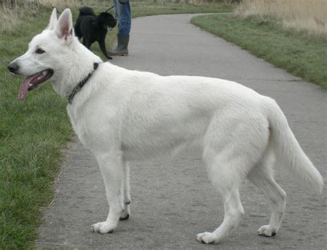 white german shepard puppy german shepherds best dogs in the world boston