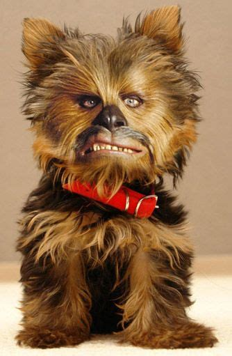 yorkie chewbacca costume the world s catalog of ideas