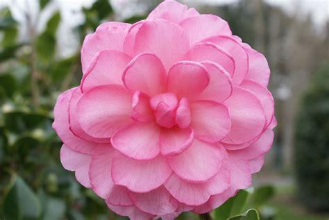 dream boat synonym camellias du henvez page 11