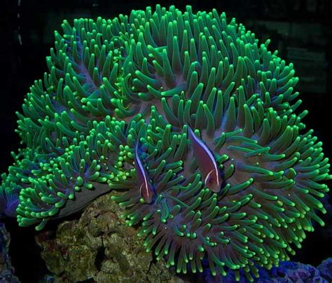 heteractis magnifica reef frontiers coral id reference