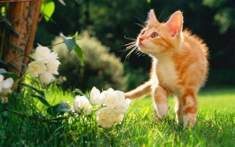 lovely cat hd wallpapers free pictures download hd free download lovely and beautiful cats hd wallpapers hd