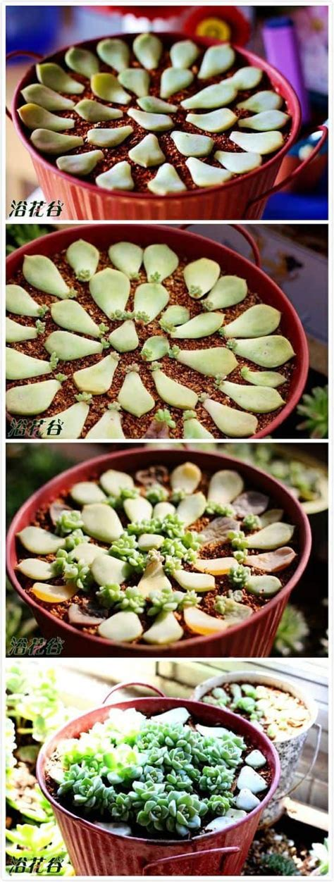 How To Propagate Succulents From Cuttings And Offsets - best 25 propagate succulents ideas on