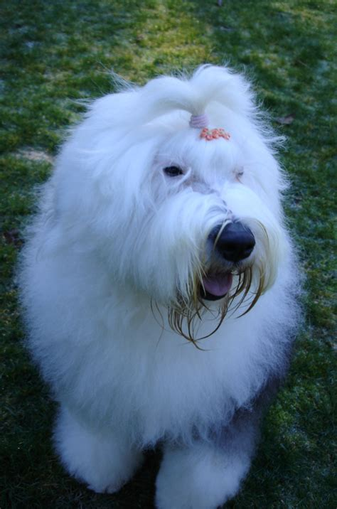 rescue washington state sheepdog rescue il breeds picture