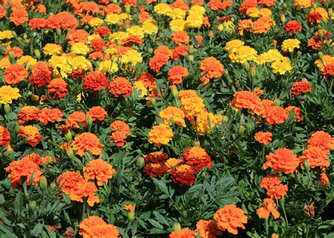 unappreciated marigolds are dependable colorful mississippi state university extension service