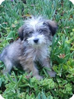 havanese puppies for adoption in california gigi adopted puppy gigi havanese puppy san diego ca havanese