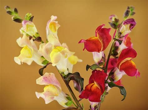 Bibit Benih Seeds Snapdragon Mix Bouquet Flower tequila snapdragon baker creek heirloom seeds