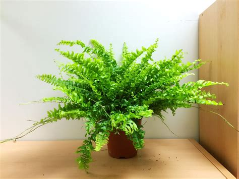 boston fern indoor plant in the white pot stunning indoor plants nephrolepis boston fern indoor clean air plant in pot