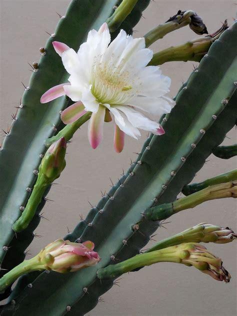 cereus hildmannianus wikipedia