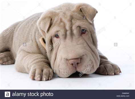 wrinkly puppies shar pei puppy wrinkles wrinkled wrinkle wrinkly stock photo royalty free