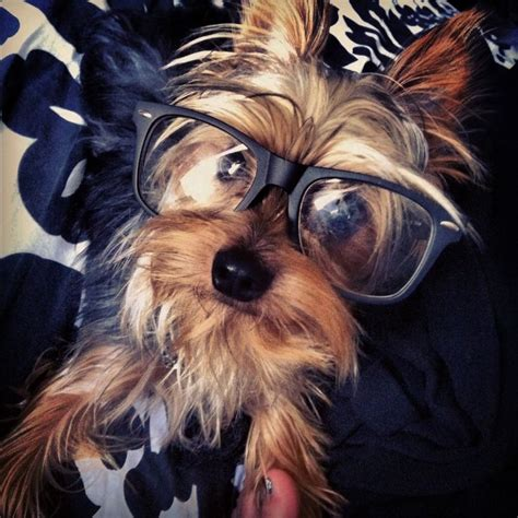 how smart are yorkies 17 best images about yorkie 01 on pets puppys and