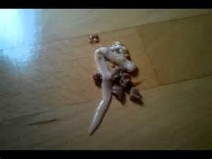 würmer im stuhl beim menschen ausgekotzter bandwurm einer katze