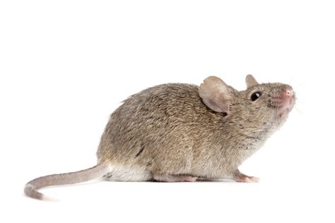 house mouse house mouse atlanta pest control