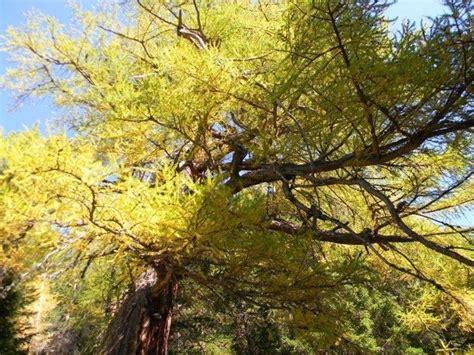larch fiori di bach larch fiori di bach rimedi naturali caratteristiche
