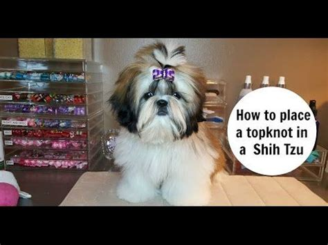 how to a shih tzu to lay 958 best images about shih tzu on maltese