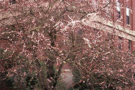 autumn flowering cherry autumn flowering higan cherry oregon state univ