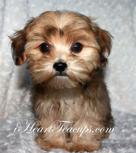 what do yorkie poos look like iheartteacups we beautiful and tiny teacup and micro mini sized tea puppies for