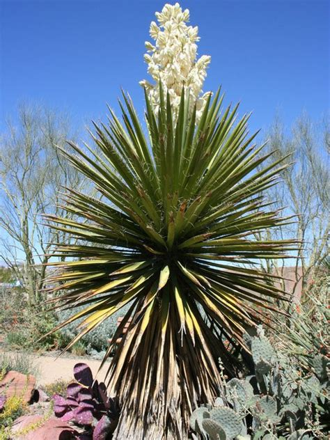 garten yucca yucca plants search fec yucca
