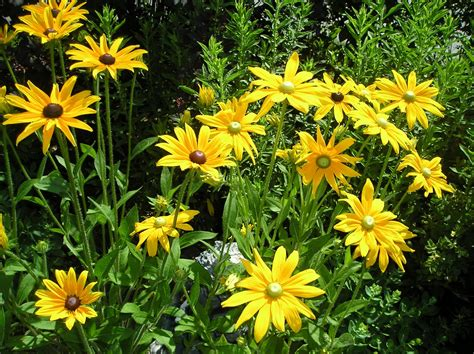 friends of the libraries of foster perennial plant sale plant list