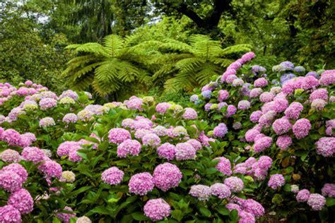 significato fiore ortensia significato dei fiori l ortensia pollicegreen