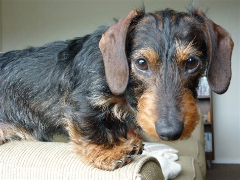 wire haired dachshund puppies for sale miniature wire haired dachshund for sale breeds picture