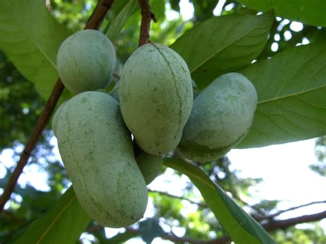 paw paw fruit tree pawpaw the fruit america forgot michigan radio