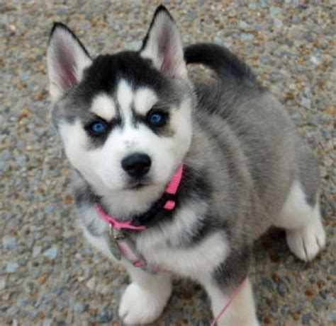 Siberian Husky Puppies For Sale Dogs Puppies Oklahoma Free