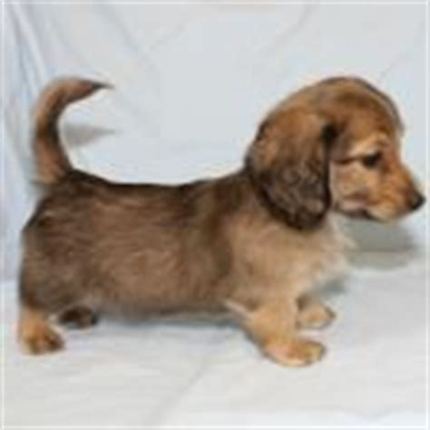shih tzu dachshund mix for sale dachshund puppies for sale mooney dogwood 573 765 5358