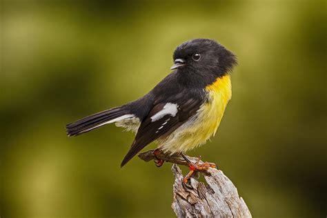 small yellow and black bird www pixshark com images