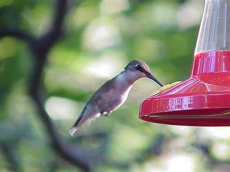 hummingbird in northeast pa flickr photo sharing
