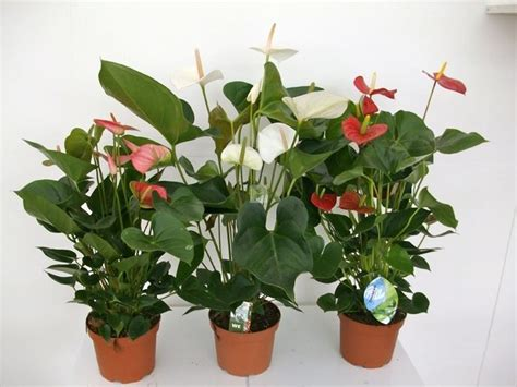 fiore anturium anthurium fiore piante appartamento caratteristiche