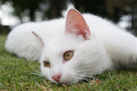 white cat beautiful white cat resting on the grass wallpapers and