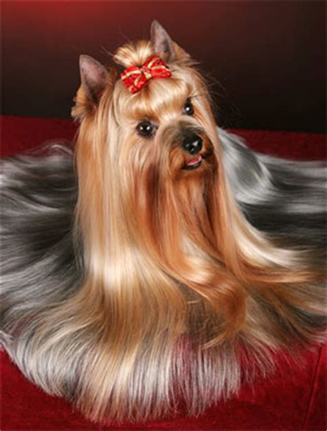 cute yorkie photos haircuts the gallery for gt yorkshire terrier teddy bear haircuts