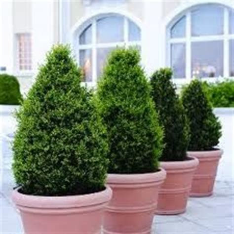 evergreen flowering shrubs for pots 1000 images about evergreens for containers as a
