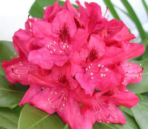 west virginia rhododendron margaret s garden blog