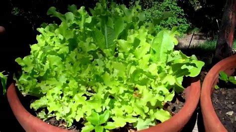 vegetable garden  pots youtube