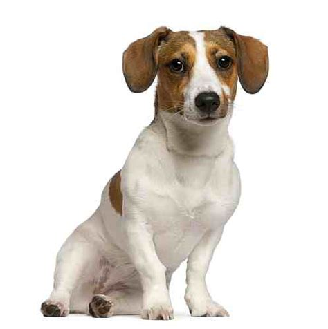 russel puppy breed small petmania
