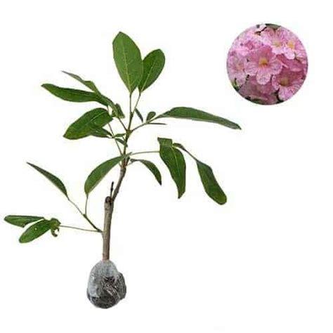 Bibit Tabebuia jual tanaman tabebuia rosea bibit