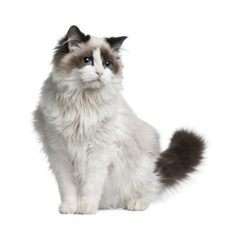 looking for cats and kittens for sale in chicago why not ragdoll race de chat bulle bleue