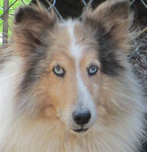 sheepdog puppies for adoption sheltie corgi dogs for adoption breeds picture